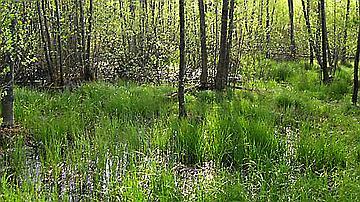 Une mare forestière (Forêt comunale de Sentheim, Haut-Rhin)