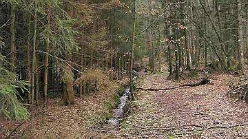 Les plantations d'épicéas en bordure de ruisseau constituent un environnement peu approprié à la bonne santé des mileux aquatiques (Forêt communale de Dossenheim sur Zinsel, Bas-Rhin)