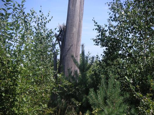 Sous les chandelles, témoins de la catastrophe de 1999, la succession naturelle de bouleaux et de pins est déjà bien installée en 2005 dans de nombreuses parcelles
