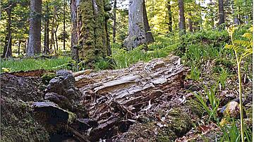 Cette forêt de la réserve biologique domaniale du Schneeberg- Baerenberg présente un fort degré de naturalité, en zone Tétras