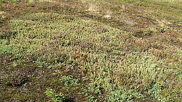 On trouve deux stations de lycopodes dans la réserve biologique domaniale du Hochfeld