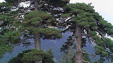 Les pins laricio âgés ont un port typique, « en table »