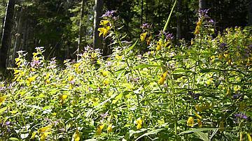 Le Mélampyre des bois (Melampyrum nemorosum)